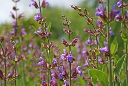 Šalvěj (Salvia officinalis)