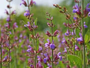 Šalvěj (<I>Salvia officinalis</I>)